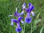 Iris de Siberie © NE17
