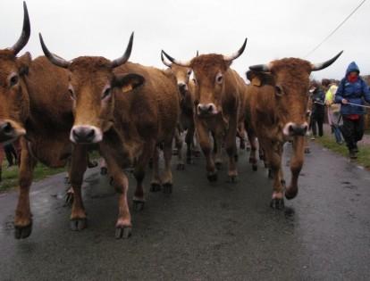 Vaches Maraîchines © NE 17