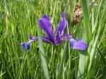 Iris maritime © NE 17